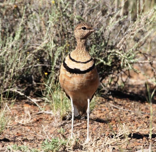 aves-arid-birding-tour--safari--adventure