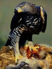 African_Crowned_Eagle_314116.jpg
