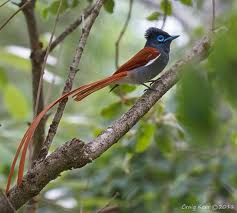 African_Paradise_Flycatcher_113140.jpg