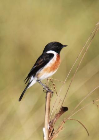 African_Stonechat13140.JPG