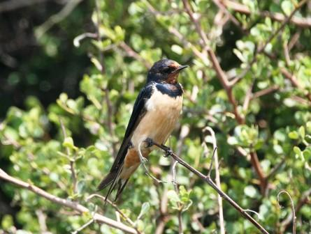 Barn_Swallow_114116.JPG