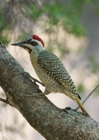 Bennetts_Woodpecker13140.JPG