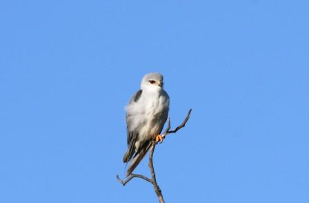 Blackshouldered_Kite13907.JPG