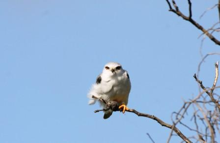 Blackshouldered_Kite_313140.JPG