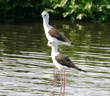 Blackwinged_Stilt_113140.JPG