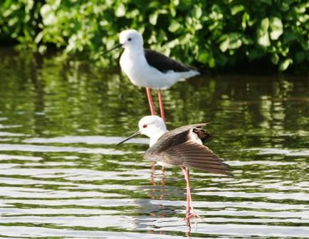 Blackwinged_Stilt_214195.JPG