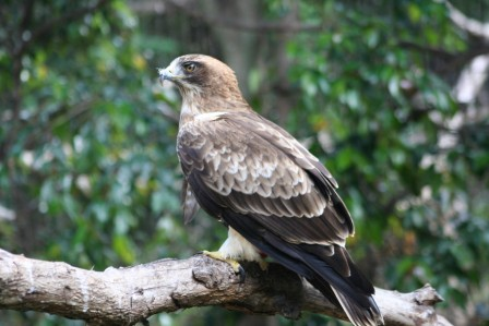 Booted_Eagle_113140.JPG