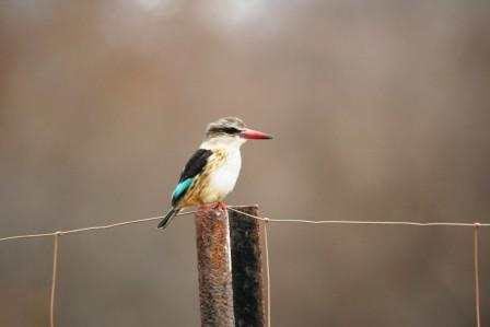 Brownhooded_Kingfisher13915.JPG