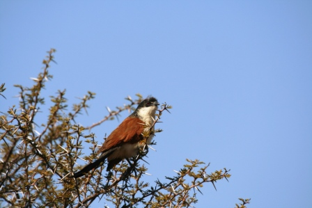 Burcheells_Coucal_113140.JPG