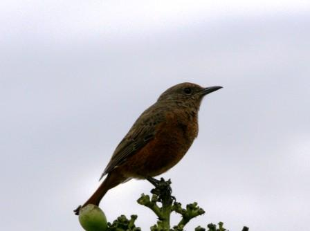 Cape_Rock_Thrush_Female13140.JPG