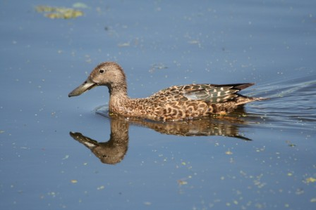 Cape_Shoveler_Female13140.JPG