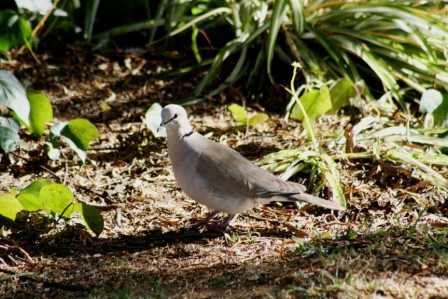 Cape_Turtle_Dove13140.JPG