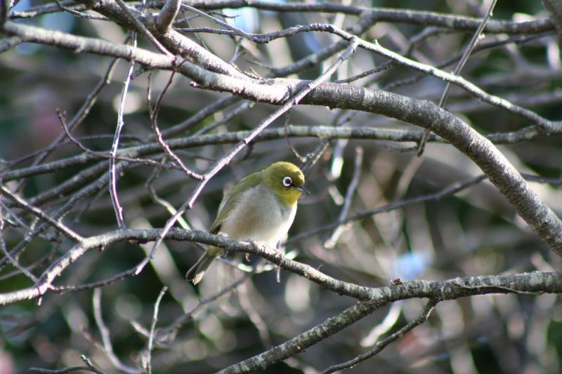 Cape_Whiteeye14195.JPG