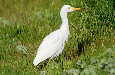 Cattle_Egret14195.JPG