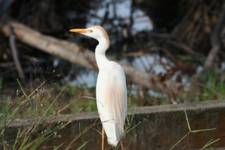 Cattle_Egret_113140.JPG