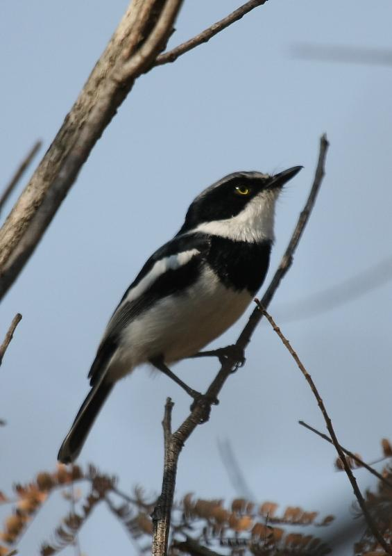 Chinspot_Batis_Male13140.JPG