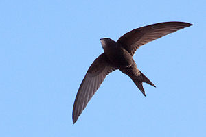 Common_Swift13140.jpg