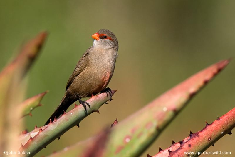 Common_Waxbill_714195.jpg