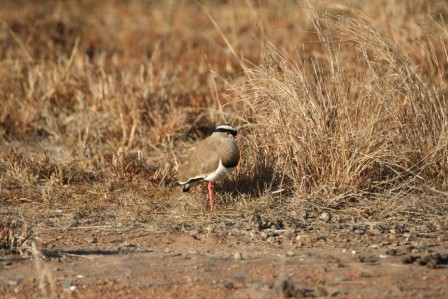 Crowned_Lapwing_113140.JPG