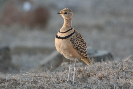 Doublebanded_Courser_a13140.jpg