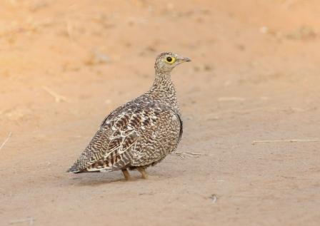 Doublebanded_Sandgrouse_Female13140.JPG