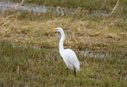 Great_White_Egret14116.JPG