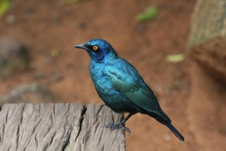 Greater_Blueeared_Starling14113.JPG