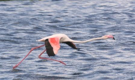 Greater_Flamingo_113140.JPG