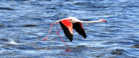 Greater_Flamingo_214195.JPG