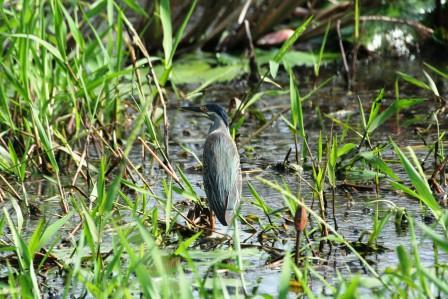 Greenbacked_Heron_113140.JPG