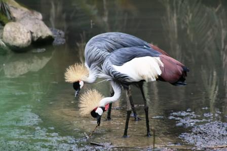 Grey_Crowned_Crane_413915.JPG