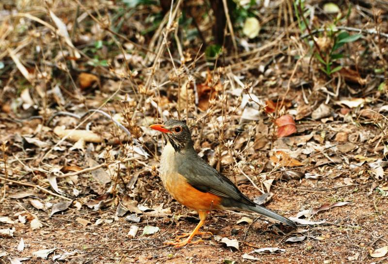 Kurrichane_Thrush_114114.JPG