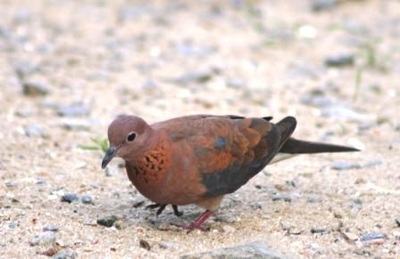 Laughing_Dove14114.JPG