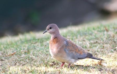 Laughing_Dove_113140.JPG