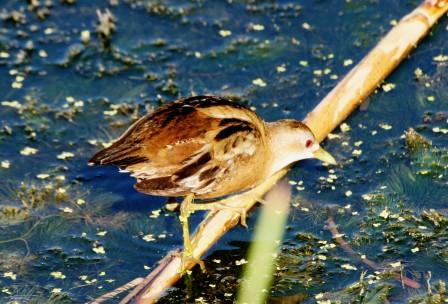Little_Crake_413140.JPG