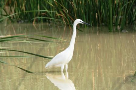 Little_Egret14057.JPG