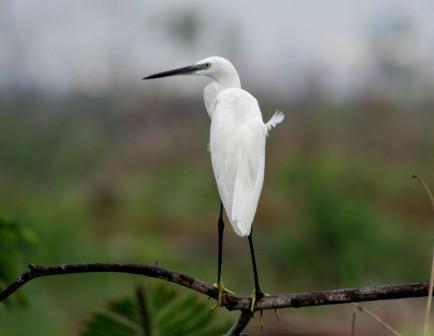 Little_Egret_214195.JPG