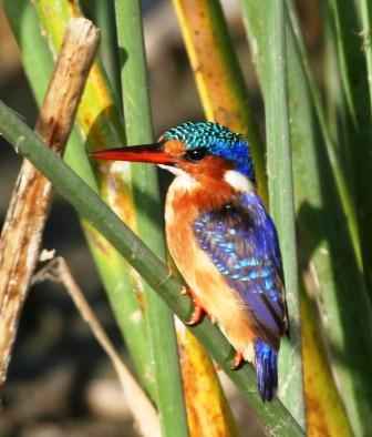Malachite_Kingfisher_413915.JPG