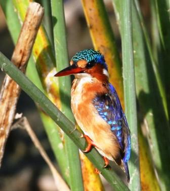 Malachite_Kingfisher_513140.JPG