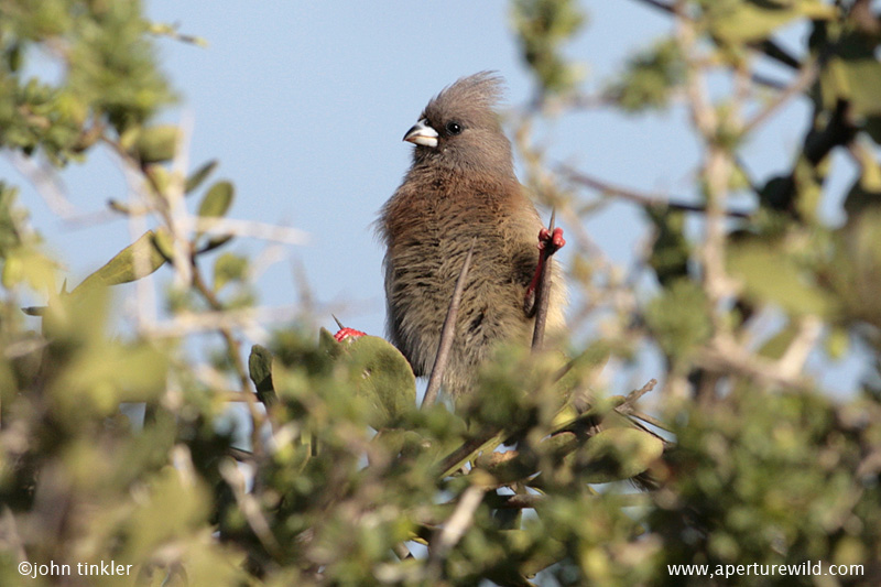 Mousebird_Whitebacked_14195.jpg