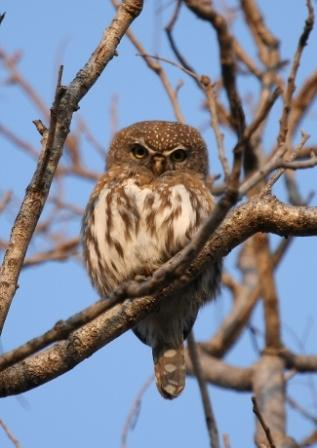 Pearlspotted_Owl13140.JPG