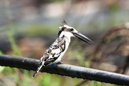 Pied_Kingfisher_113140.JPG
