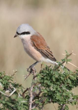 Redbacked_Shrike13140.JPG