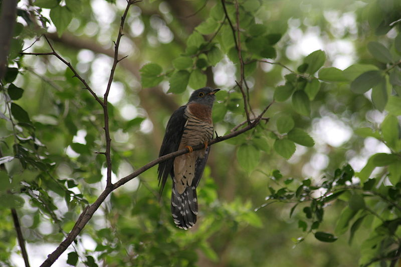 Redchested_Cuckoo14116.jpg