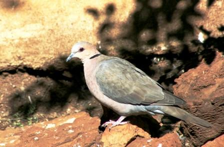 Redeyed_Dove14116.JPG