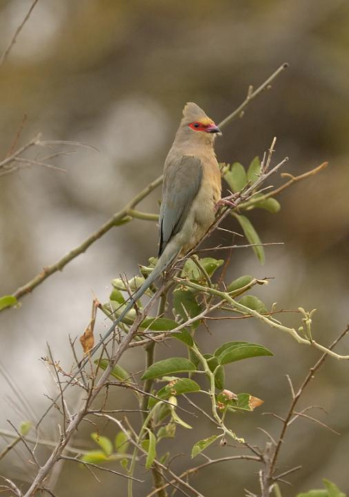 Redfaced_Mousebird_314116.jpg