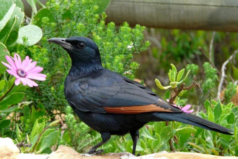 Redwinged_Starling_314113.jpg
