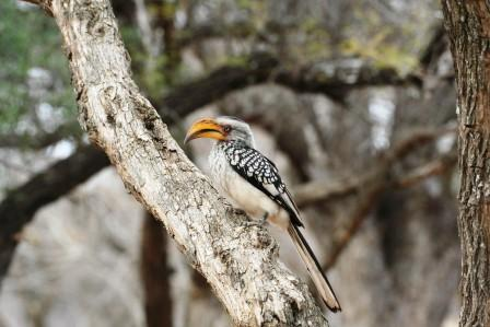 Southern_Yellowbilled_Hornbill13907.JPG