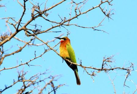 Whitefronted_Beeeater14114.JPG
