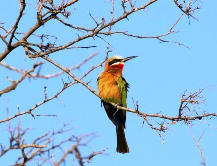 Whitefronted_Beeeater_113140.JPG